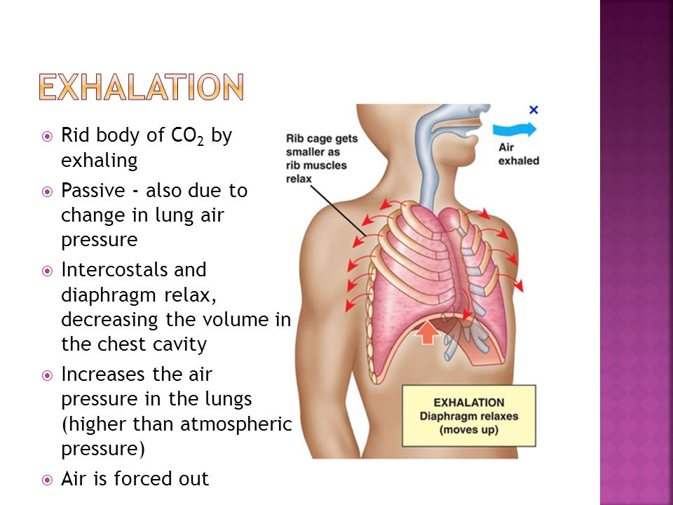 Exhalation Rid body of CO2 by exhaling
