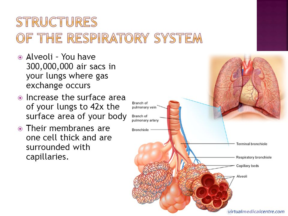 structure of the respiratory system Respiratory structures are disrupted by disease, and the oft-repeated aphorism 'structure is related to function' is never more applicable than in the respiratory system in health and disease study of its structure considerably eases understanding of how the respiratory system works.