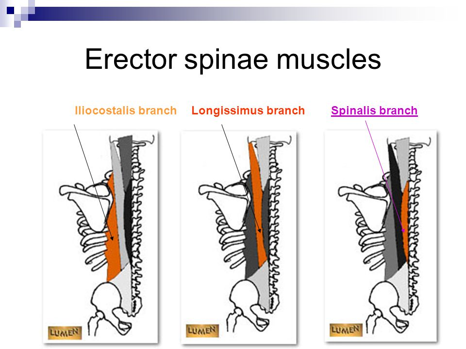 Muscles of the Spinal Column - ppt video online download