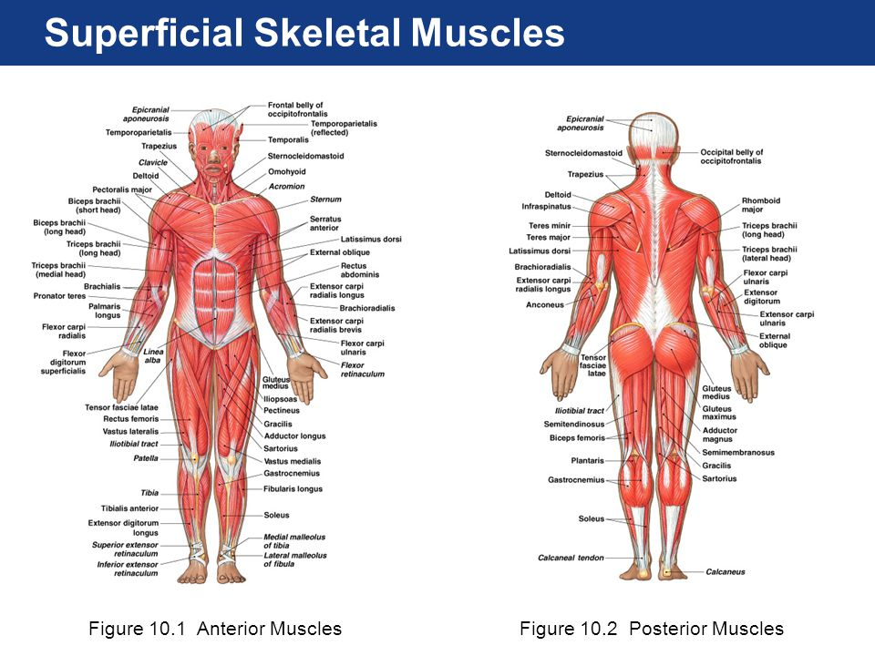 Chapter 11 Mckinley Human Muscle Diagram Diy Enthusiasts Wiring