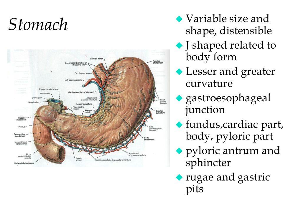 The Abdomen Stuart M Bunt Functional Anatomy Ppt Video Online Download
