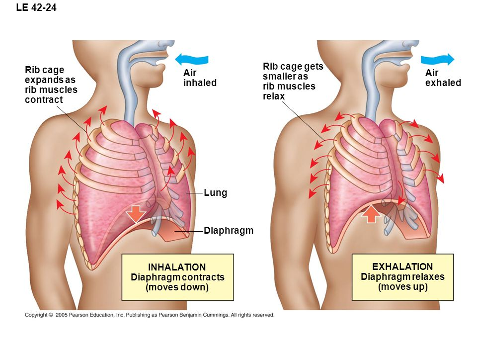 LE Rib cage gets Rib cage Air smaller as Air expands as inhaled