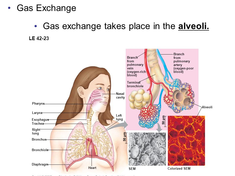 Gas exchange takes place in the alveoli.