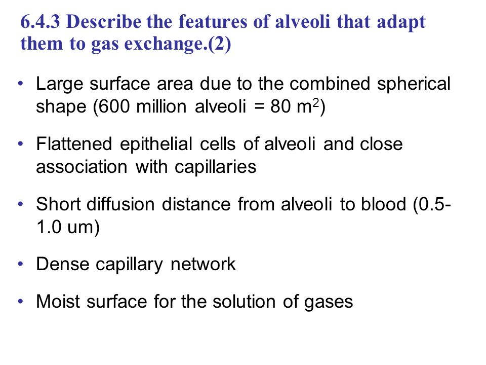 6.4.3 Describe the features of alveoli that adapt them to gas exchange.(2)