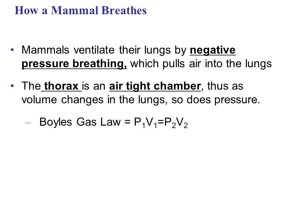 How a Mammal Breathes Mammals ventilate their lungs by negative pressure breathing, which pulls air into the lungs.