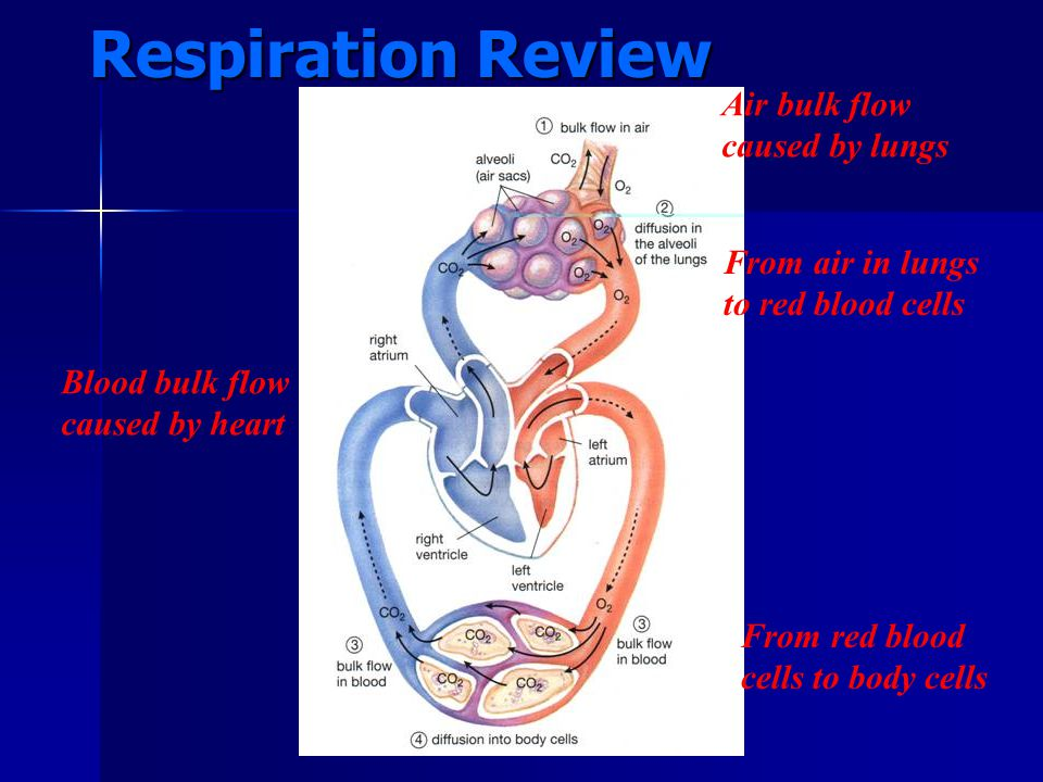 Respiration Review Air bulk flow caused by lungs