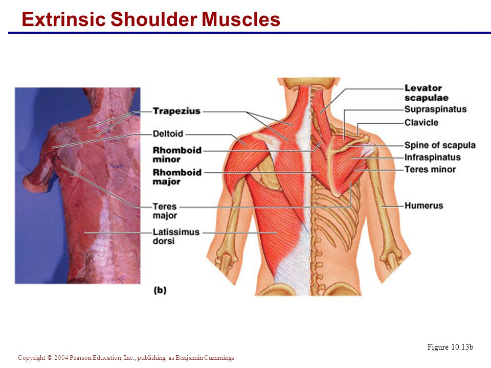 Extrinsic Shoulder Muscles