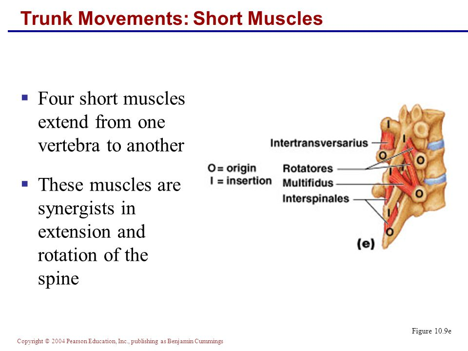 Trunk Movements: Short Muscles