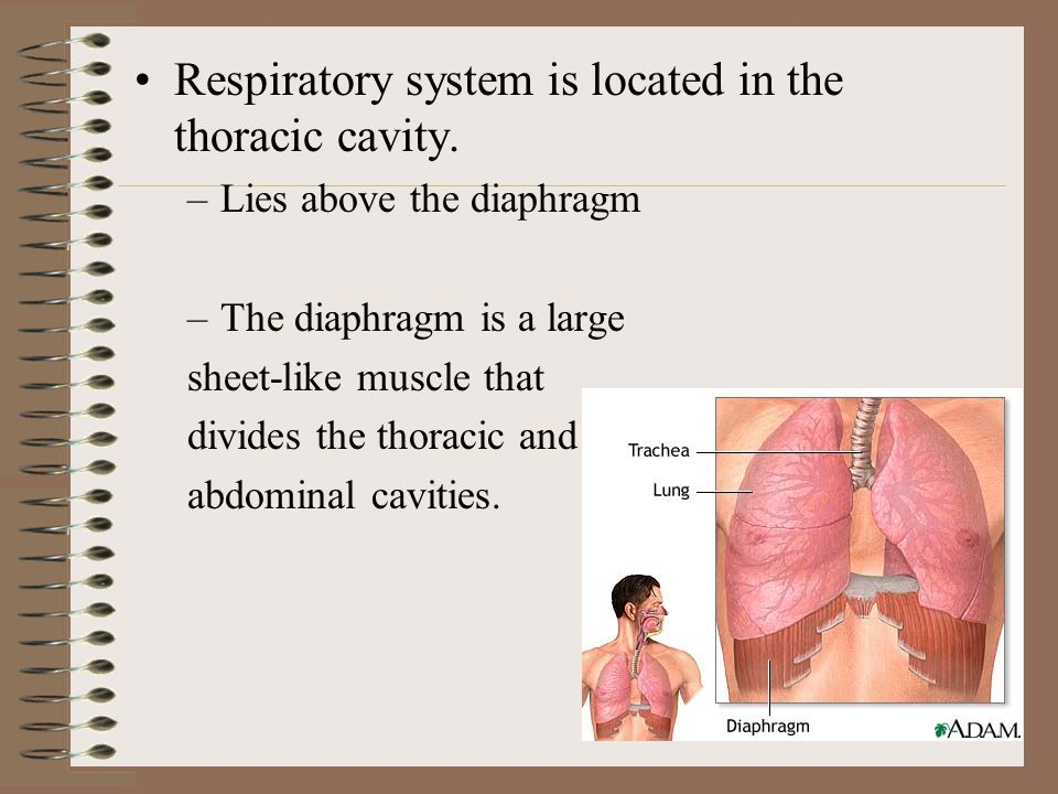Respiratory system is located in the thoracic cavity.