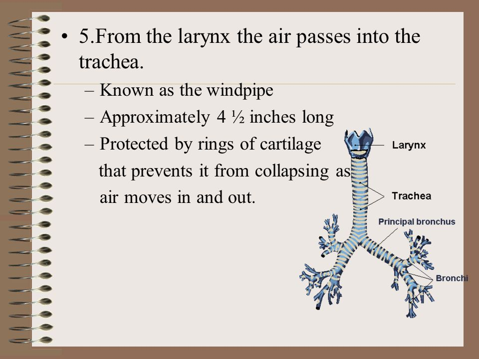 5.From the larynx the air passes into the trachea.