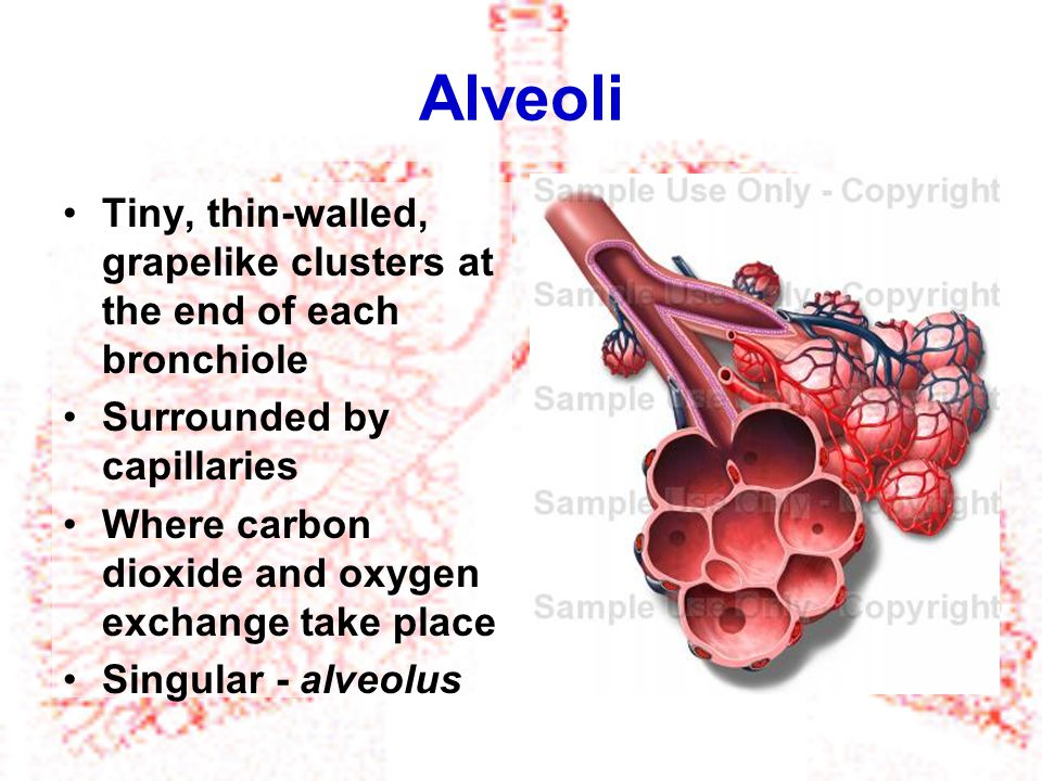 Alveoli Tiny, thin-walled, grapelike clusters at the end of each bronchiole. Surrounded by capillaries.