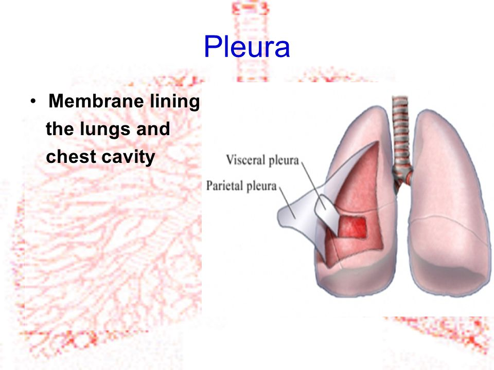 Pleura Membrane lining the lungs and chest cavity