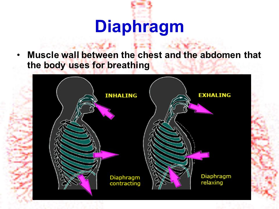 Diaphragm Muscle wall between the chest and the abdomen that the body uses for breathing