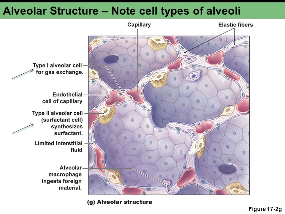Alveolar Structure – Note cell types of alveoli