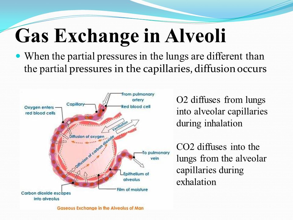 Gas Exchange in Alveoli