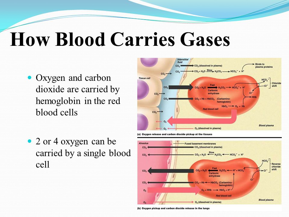 How Blood Carries Gases