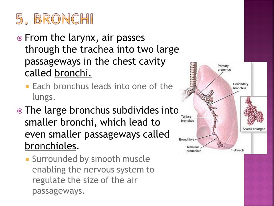 5. Bronchi From the larynx, air passes through the trachea into two large passageways in the chest cavity called bronchi.
