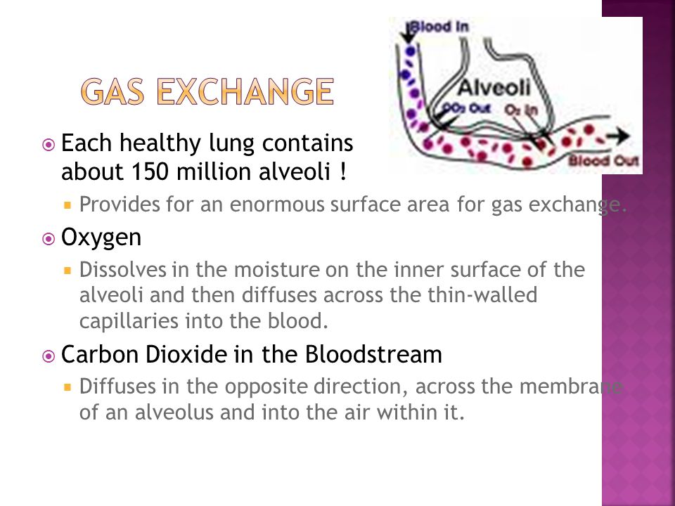 Gas Exchange Each healthy lung contains about 150 million alveoli !
