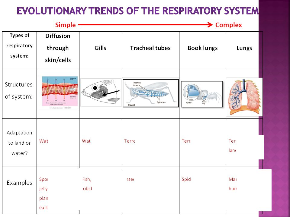 Evolutionary Trends of the Respiratory System