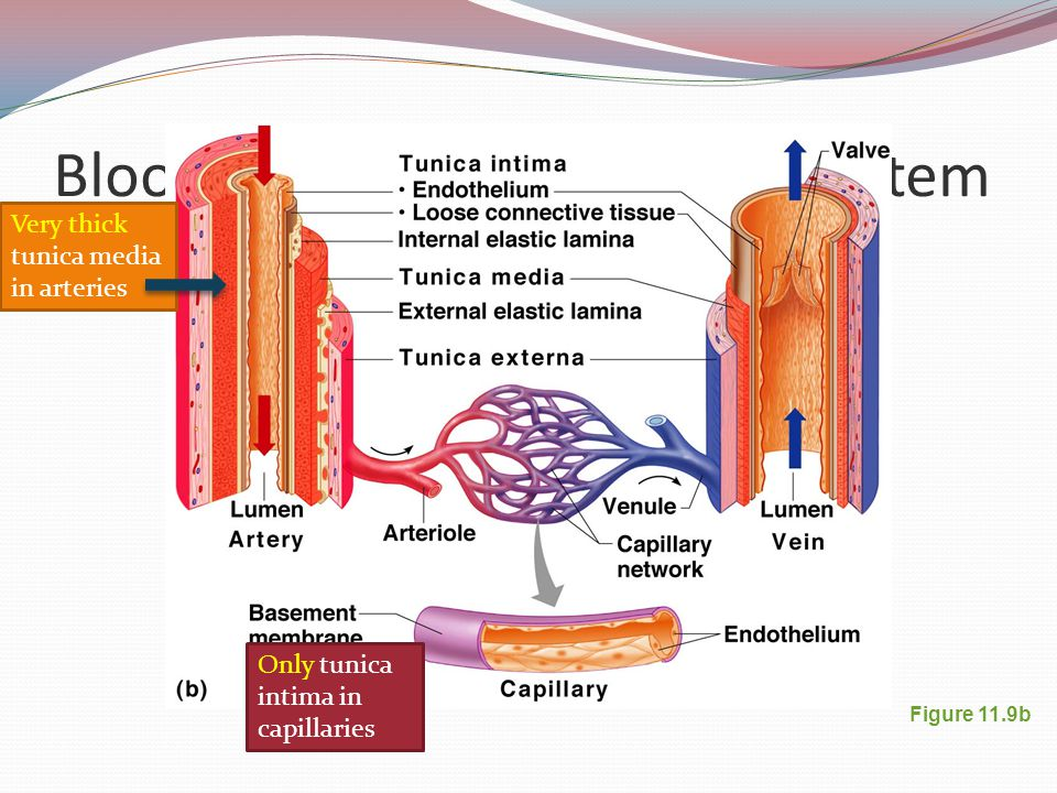Awesome Anatomy Of Blood Vessel Model - Human Anatomy Images ...