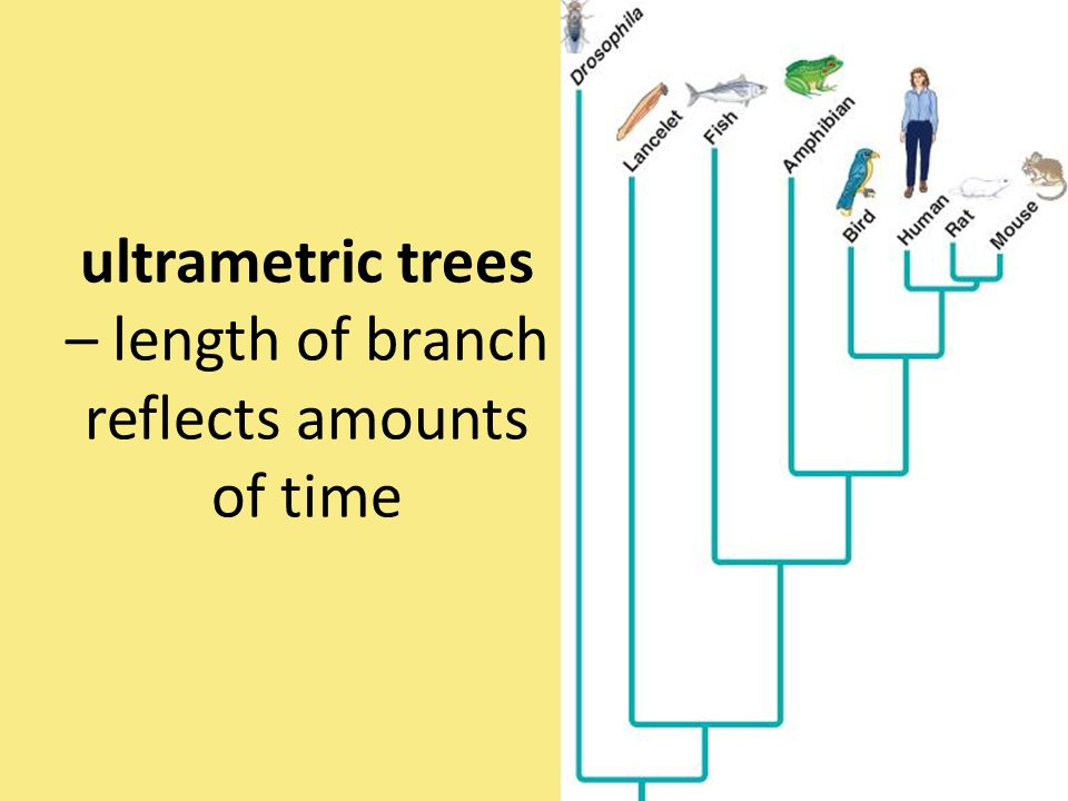 ultrametric trees – length of branch reflects amounts of time