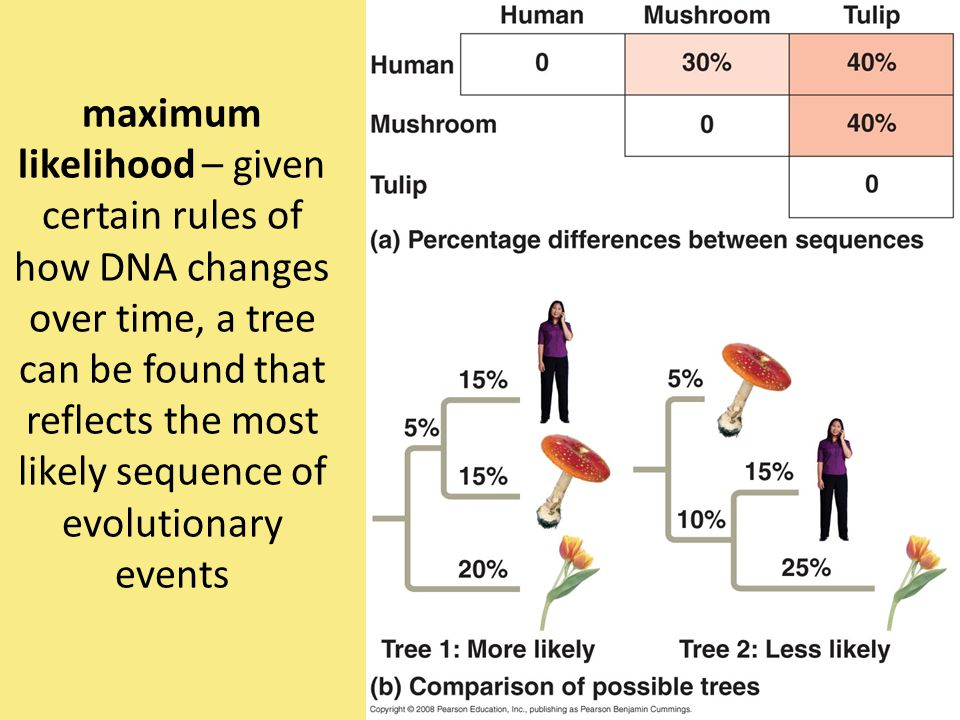 maximum likelihood – given certain rules of how DNA changes over time, a tree can be found that reflects the most likely sequence of evolutionary events