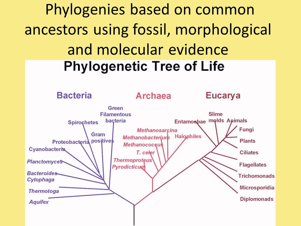 Phylogenies based on common ancestors using fossil, morphological and molecular evidence