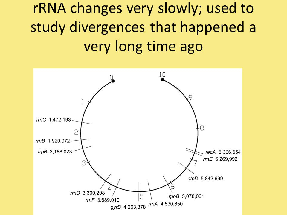 rRNA changes very slowly; used to study divergences that happened a very long time ago