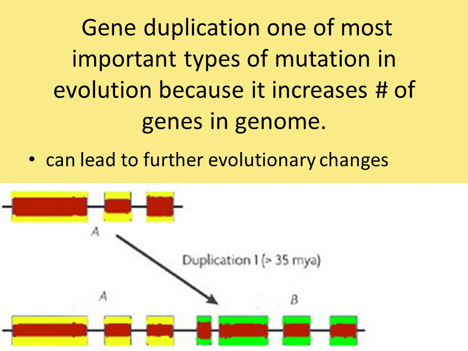 Gene duplication one of most important types of mutation in evolution because it increases # of genes in genome.