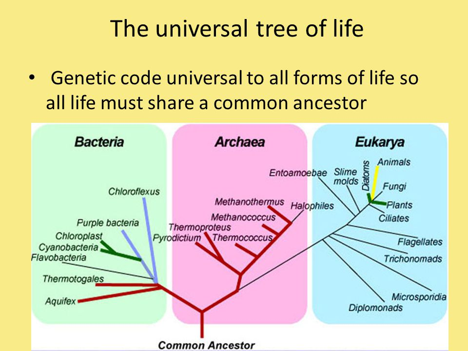 The universal tree of life