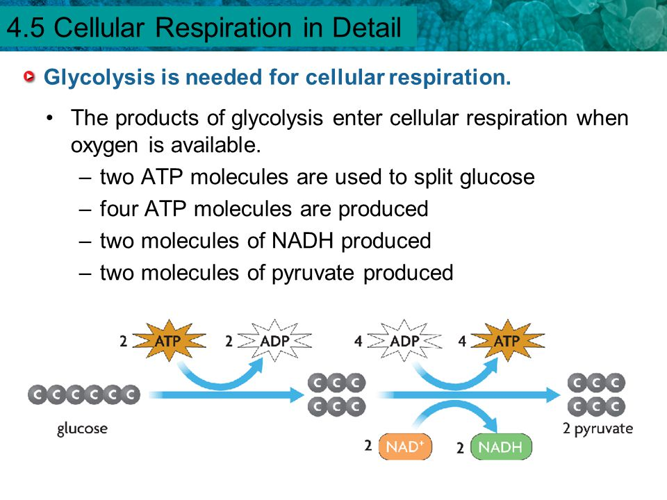 Glycolysis is needed for cellular respiration.