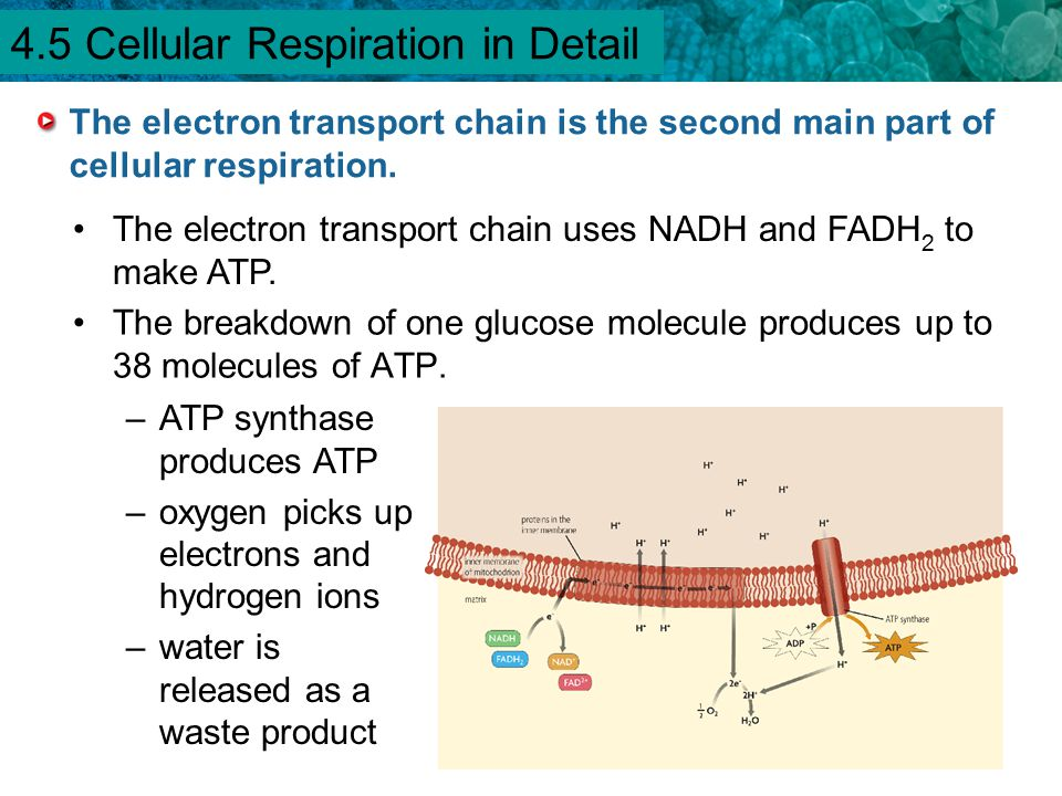 4.5 Cellular Respiration in Detail
