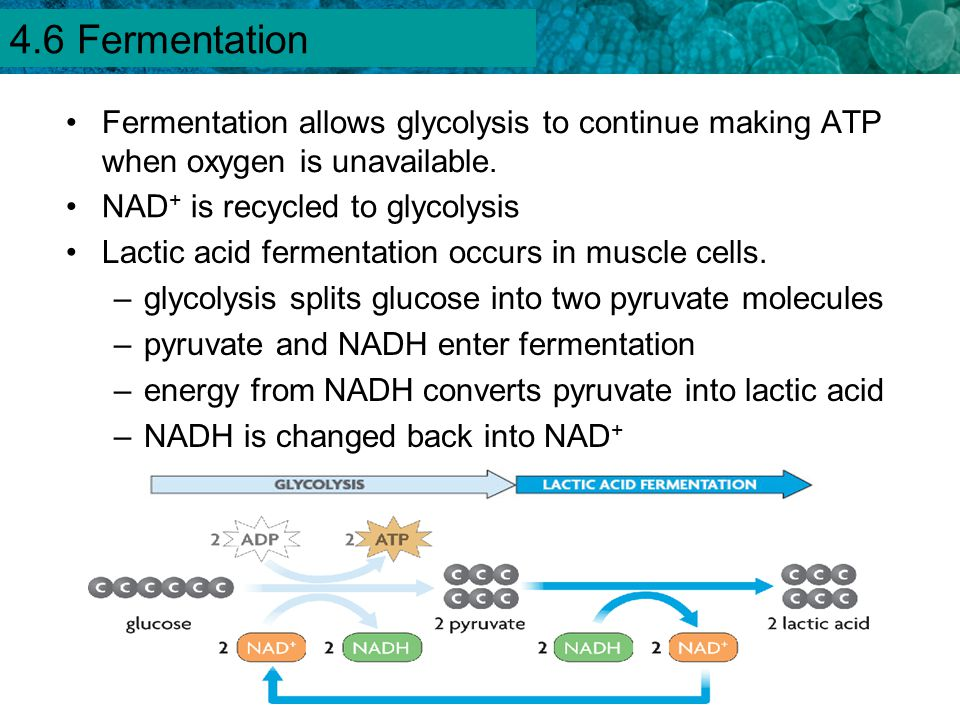 4.6 Fermentation Fermentation allows glycolysis to continue making ATP when oxygen is unavailable. NAD+ is recycled to glycolysis.
