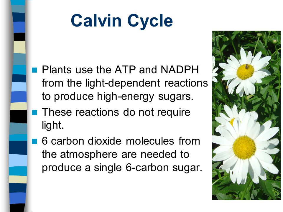 Calvin Cycle Plants use the ATP and NADPH from the light-dependent reactions to produce high-energy sugars.