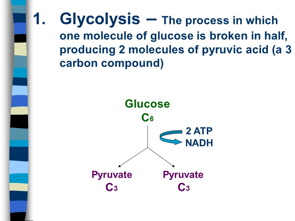 Glycolysis – The process in which one molecule of glucose is broken in half, producing 2 molecules of pyruvic acid (a 3 carbon compound)