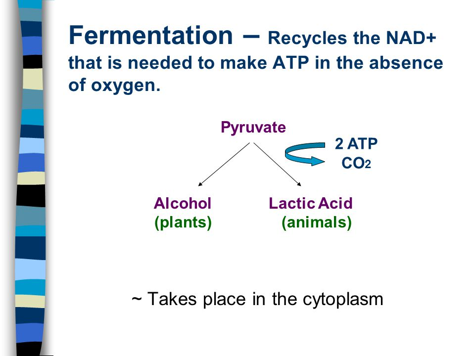 Fermentation – Recycles the NAD+ that is needed to make ATP in the absence of oxygen.