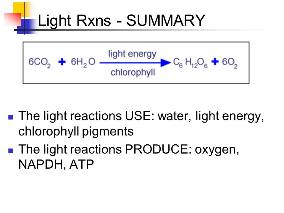 Light Rxns - SUMMARY The light reactions USE: water, light energy, chlorophyll pigments.