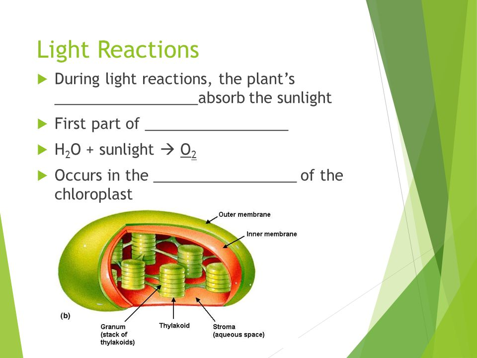 Light Reactions During light reactions, the plant's _________________absorb the sunlight. First part of _________________.