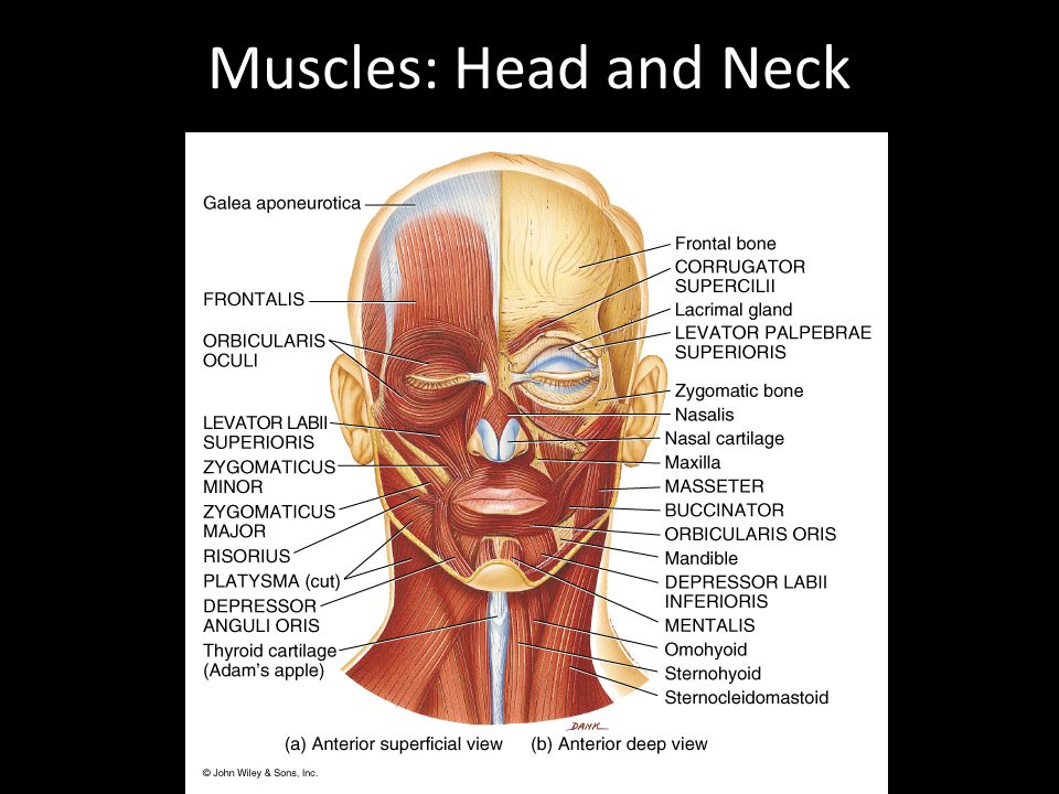 Unit 3: The Muscular System Lab 1: Muscles of the Axial Skeleton ...