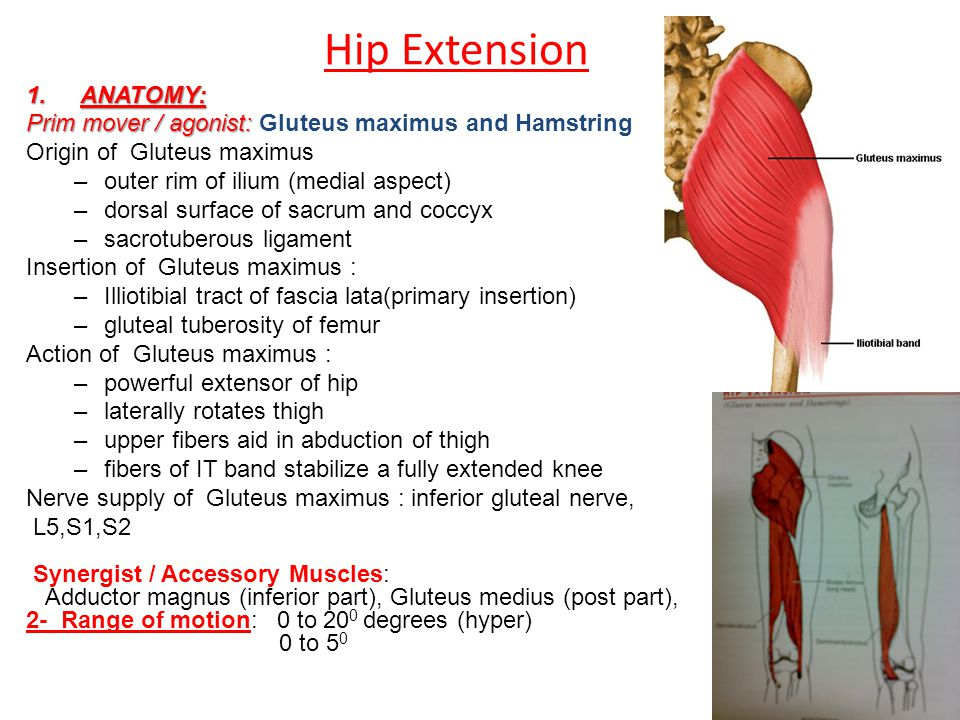 Hip Muscles Mazyad Alotaibi. - ppt video online download