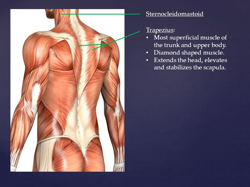 Muscles Of The Posterior And Anterior Trunk Ppt Video Online Download