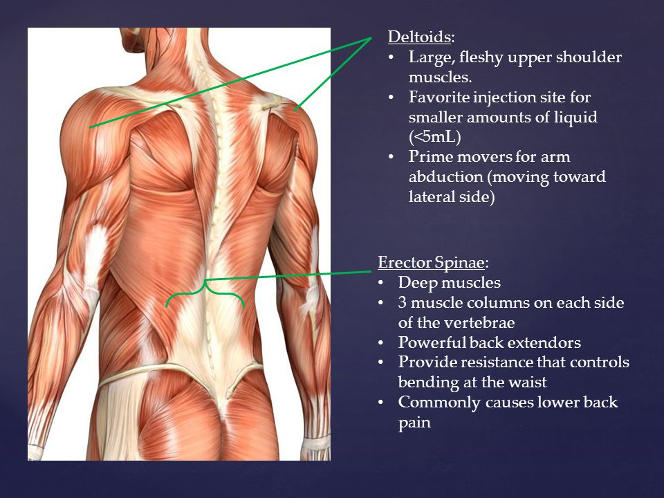 Muscles of the Posterior and Anterior Trunk - ppt video online download