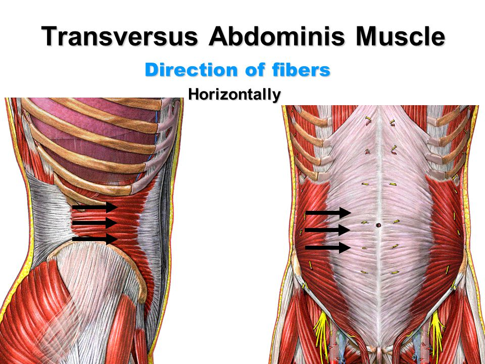 Anatomy of Anterior Abdominal Wall - ppt video online download