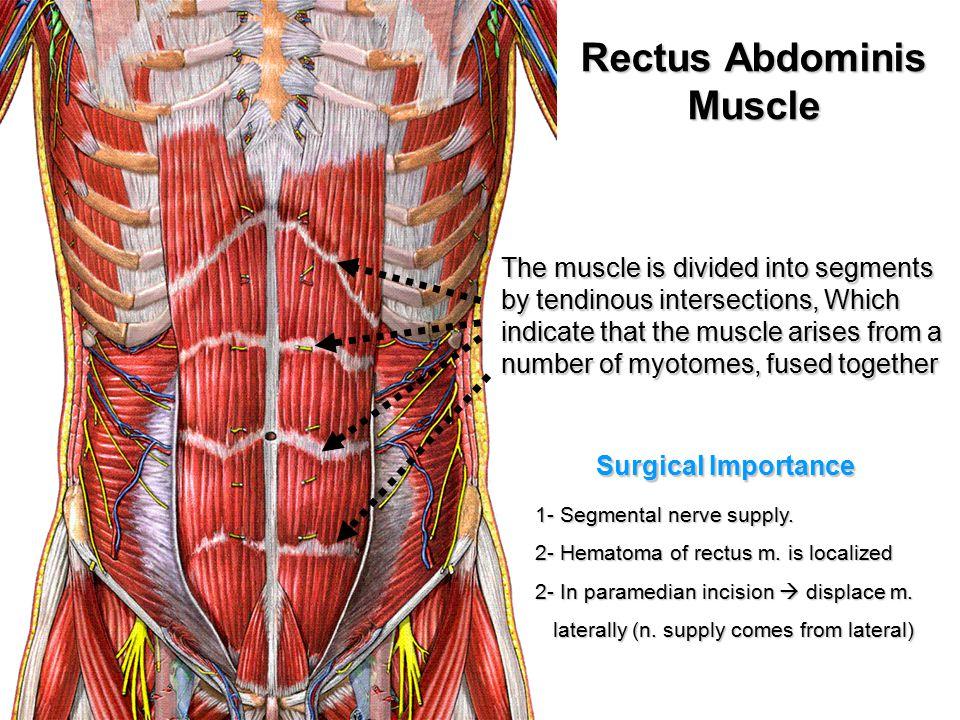 Diagram Rectus Abdominus Nerve - Trusted Wiring Diagram •