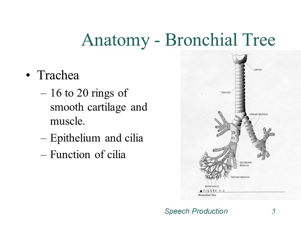 Speech Production Respiration Conditions that Affect Respiration ...