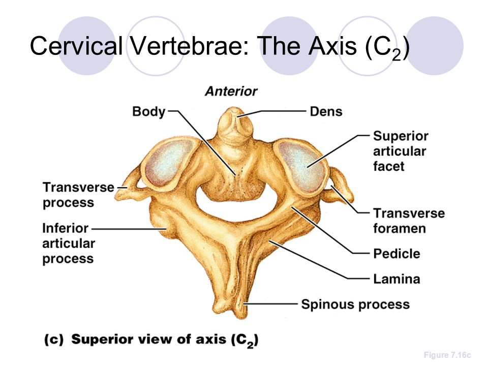 Cervical Vertebrae Seven vertebrae (C1-C7) are the smallest ...