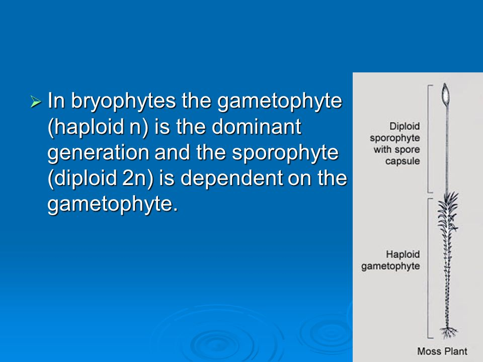 In bryophytes the gametophyte (haploid n) is the dominant generation and the sporophyte (diploid 2n) is dependent on the gametophyte.