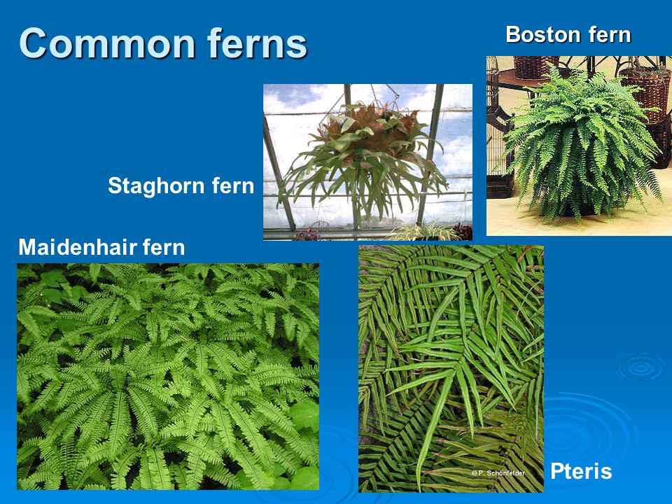 Common ferns Boston fern Staghorn fern Maidenhair fern Pteris 26