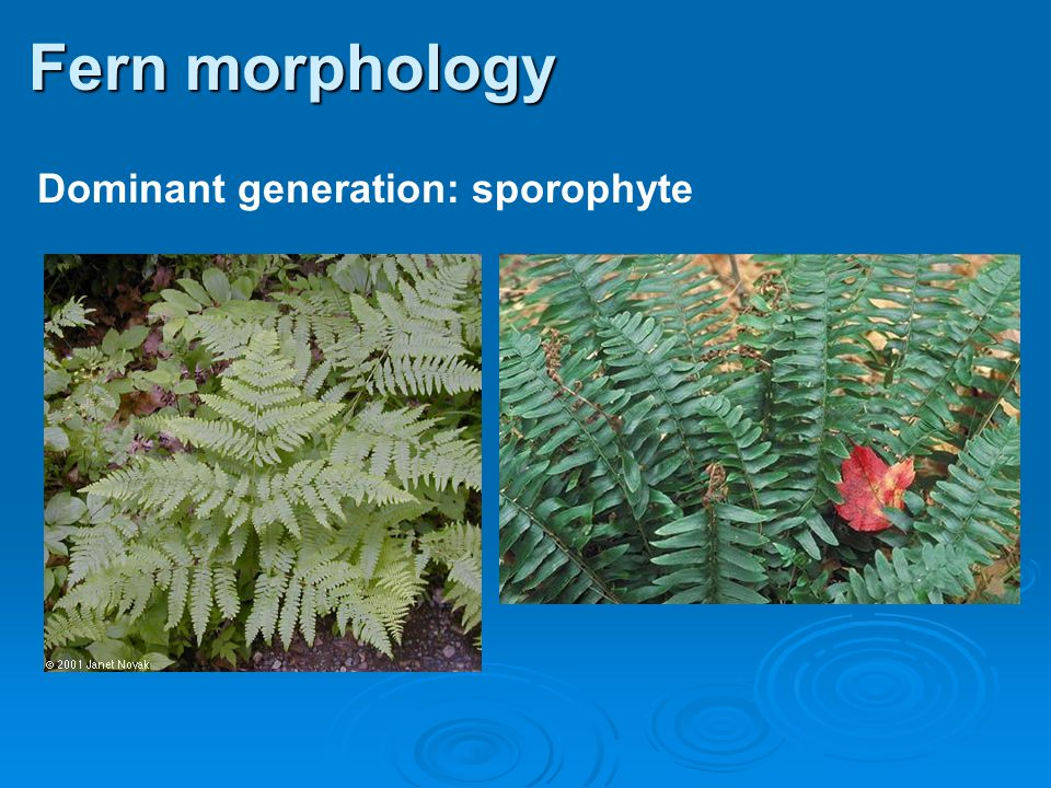 Fern morphology Dominant generation: sporophyte 27