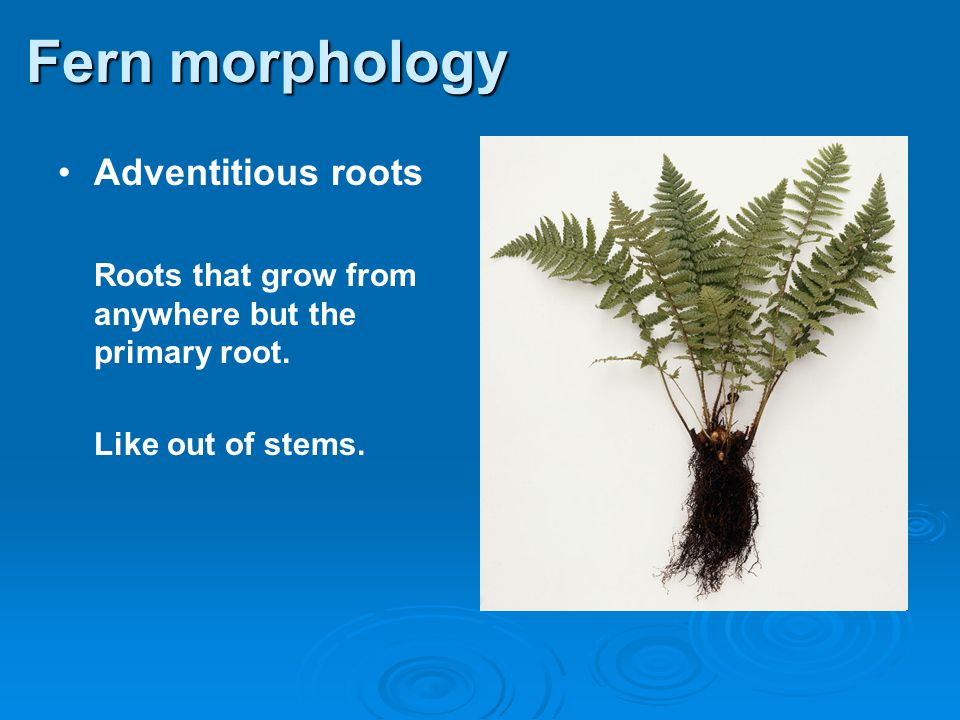 Fern morphology Adventitious roots